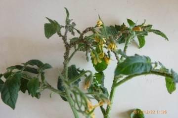 春季蚜虫要早治