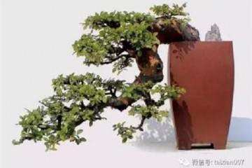 室内养小叶榆树盆景 叶子发黄 枯萎 怎么办?