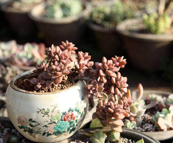 近几年 多肉植物风靡北京城