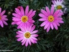上海中高档花卉中 凤梨上市量较少 价格稳定