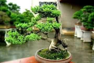 教你如何在家繁殖盆栽榕树?