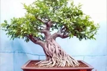 榕树盆景提根后怎么做喷水的方法