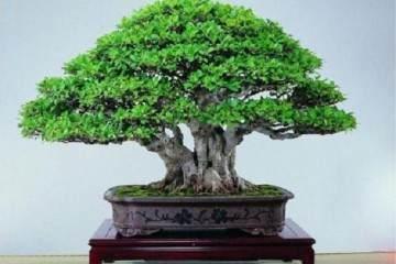 养盆栽榕树 用一个小方法 新叶嫩叶蹭蹭长