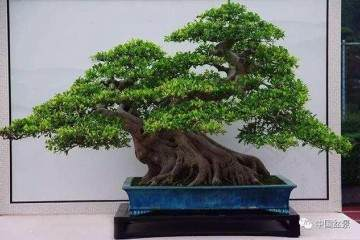 榕树盆栽的半成品栽培法