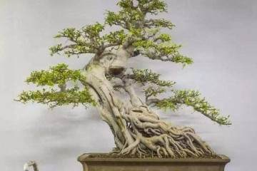 榕树盆景放家里有什么作用?应该怎么摆放?