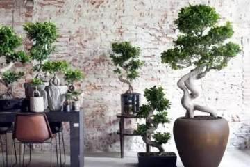 榕树盆栽原来这么养 掌握细节再也难不到您!