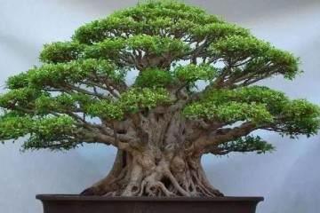 榕树盆景摆放对风水有哪些的影响?