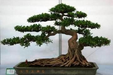 榕树盆景摆放在哪里 风水最好?