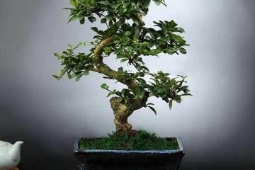 如何正确把握榕树盆景的修剪理论?