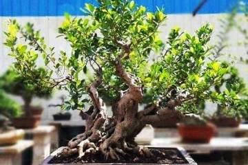 让榕树盆景快速长须根的3个方法
