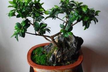 人参榕树盆景怎么养?浇水与施肥的需求