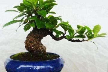 榕树盆景一般每隔2年需要进行一次换盆