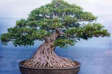 给榕树盆景换盆的4个步骤