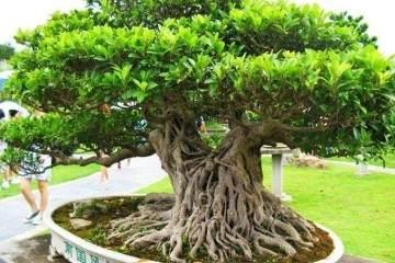 榕树盆景的插树以深3寸左右为宜