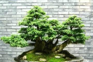 榕树盆景的浇水原则与方法