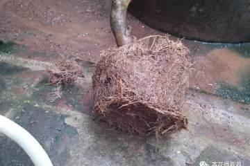 图解:茶花盆景的洗根提根上盆过程