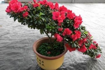 杜鹃花盆栽上盆叶子变软迹象 怎么补救?