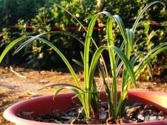 下山兰上盆后 多长时间才能施肥?