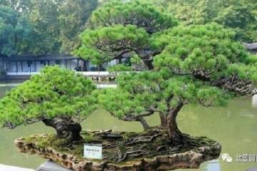 松树盆景的采挖及上盆的经验 如何制作松树盆景?