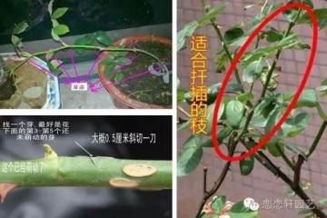 图解 水插月季盆栽的催根及上盆技巧