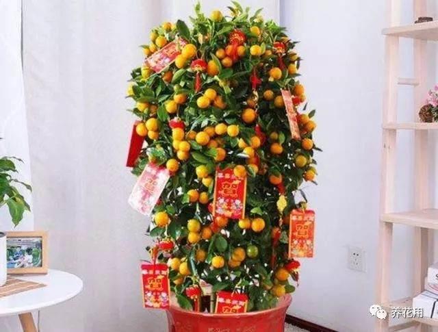 金桔盆栽换盆的最佳时间