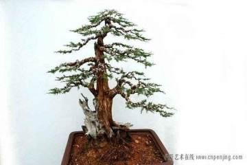 树桩盆景为什么要翻盆换土?