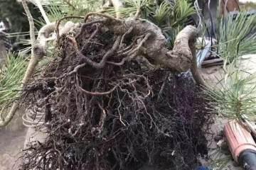 松树盆景全祼根换土换盆的本钱