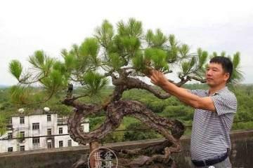 山松盆景的新树桩换土法
