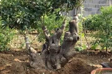如何给盆栽换盆换土?盆栽换盆的重要性