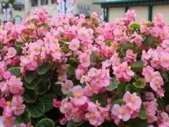 四季海棠换盆 花开整个冬天 养一颗年年年有花看