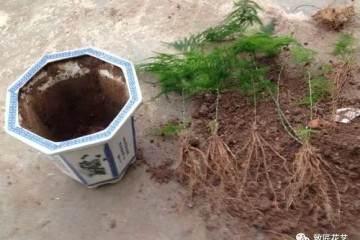 文竹盆景怎么移栽换盆的方法