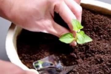 盆栽换盆后的旧盆旧土怎么处理呢?