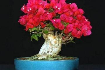 三角梅盆栽换盆叶子全蔫了的5个原因