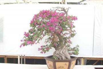 三角梅盆栽换盆伤根能活吗?