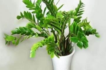 金钱树盆栽换盆后需要浇水吗?