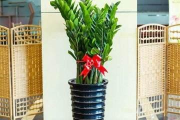金钱树盆栽什么季节换盆好 几月换盆最好?