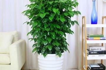 幸福树盆栽 一般需要每隔2年进行一次换盆