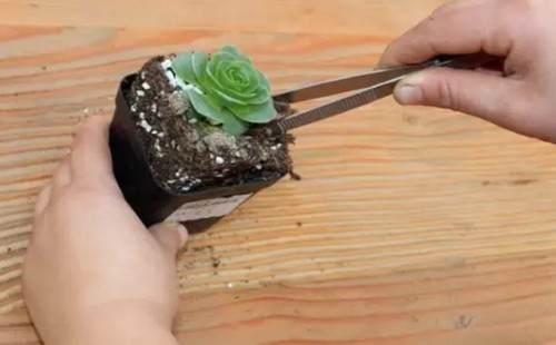 多肉植物的换盆方法详解(图解)5