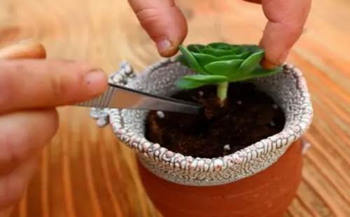 多肉植物的换盆方法详解(图解)8