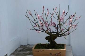 梅花盆栽需要每年春季进行一次换盆换土