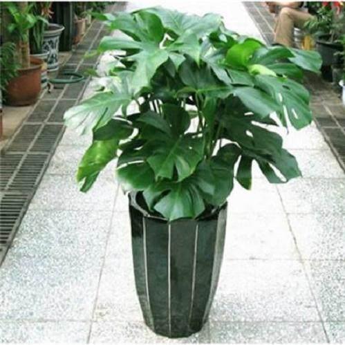 盆栽龟背竹在换盆后 如何浇水?