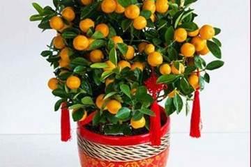 盆栽金桔树带果怎么换盆呢?注意这2点