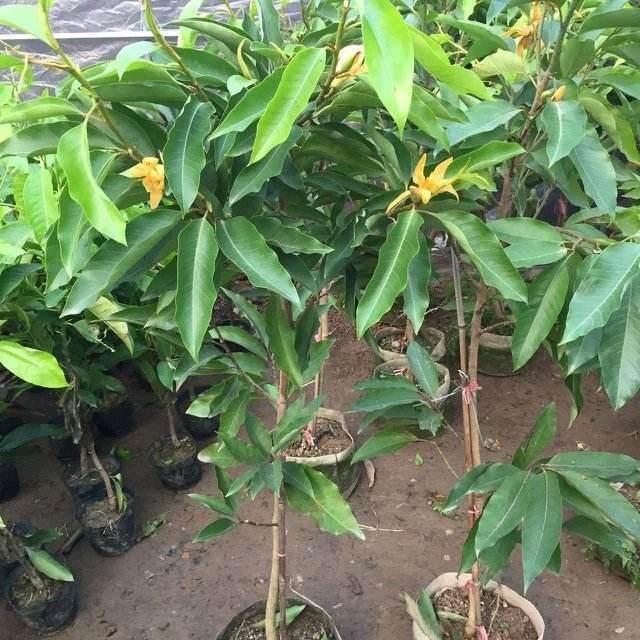 盆栽白兰花的换盆过程 还是比较简单的