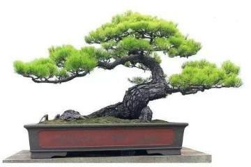 松树盆景的修根与上盆技巧