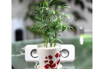 袖珍椰子盆栽怎样换盆?什么时候?