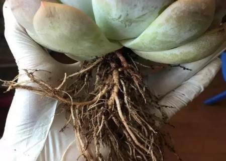 多肉换盆需要修根、晾根吗3