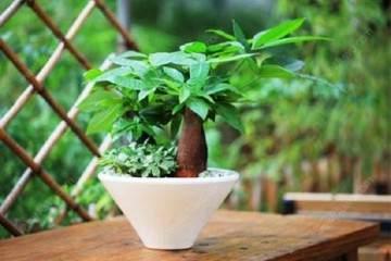 发财树盆栽的换盆方法及4个注意事项