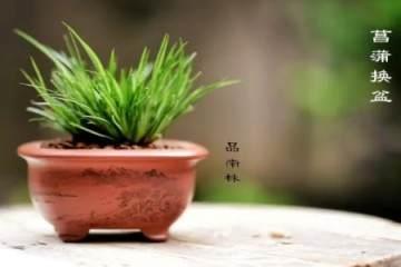 图解 菖蒲盆景的换盆过程 8幅图