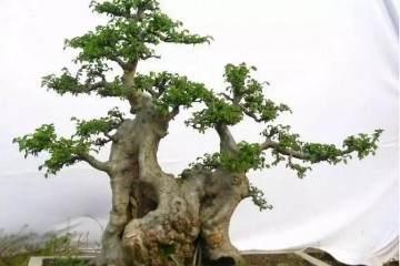 榆树树桩盆景的光照与修枝