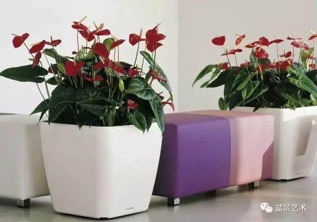 红掌花盆栽的制作技术